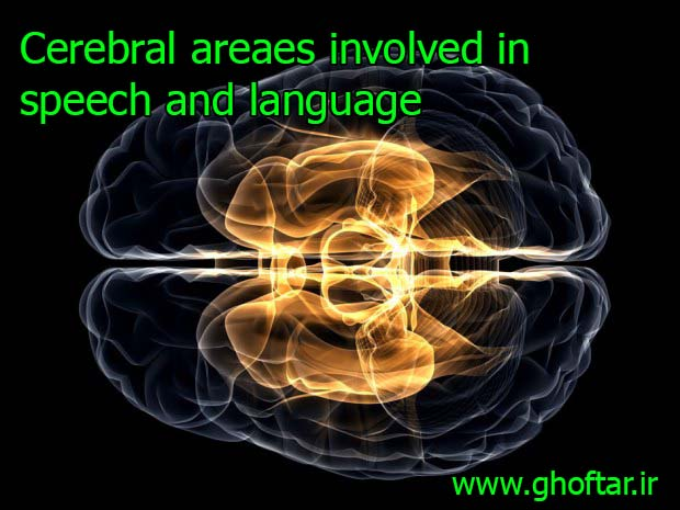 Cerebral areaes involved in speech and language