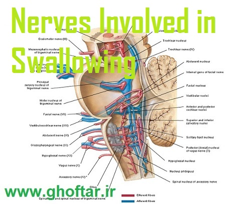 سیستم عصبی بلع