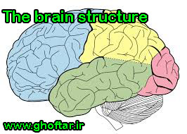 The brain structure