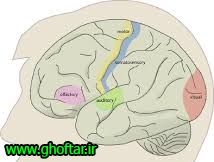 primary-areas-of-the-brain
